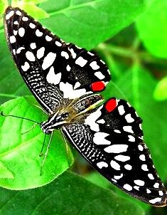 Gainesville, FL is the home to the University of Florida Butterfly Rainforest.  See beautiful specimens like this black-white-red butterfly.  www.GainesvilleFloridaHomes.com