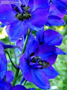 Full size picture of Belladonna Delphinium 'Oriental Blue' (Delphinium x belladonna) I don't like cover up of stinky assholes leaders until now saying they are acting to save lives where the real facts talk of murder, pollution, genocide and greed, check these sites,  http://dammebleustartgate2freedom.blogspot.com,  http://about.me/BlueSkyinfinito