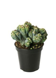 "3.5"" Cereus forbeseii montrose 'Ming Thing' Cool Succulents, Wholesale Succulents, Dish Garden, Window Sill, Frost, Cactus, Planter Pots, Survival"