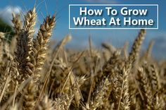 How To Grow Wheat - you can easily grow 50 lbs or more in your garden... #gardening #homesteading
