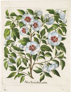 View 1: Basilius Besler - Plate 145 White rose of Sharon