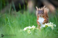 """Red squirrel in primroses.jpg  Will Nicholls: I have begun a new project with my red squirrels. This time it is to photograph them amongst flowers. I spent 2 hours yesterday planting 4 different types, none of which have flowered yet except for these primroses."""