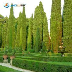 Tree Seeds 100 Pcs Italian Cypress, Cupressus Sempervirens Stricta Seeds Home Gardening