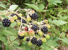 Ceaiul din frunze de MUR este folosit si pentru REGLAREA CICLULUI MENSTRUAL si a tulburarilor hormonale la menopauza (TULBURARI DE MENOPAUZA )