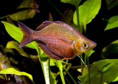 Millenium Rainbowfish
