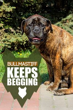 Bullmastiffs are big, beautiful dogs but they can have some annoying traits. Today we will dive into all we need to know about training our pups to be well behaved and pleasant to be around. Giant Dog Breeds, Giant Dogs, Best Dog Breeds, Large Dog Breeds, Large Dogs, Best Dogs For Families, Family Dogs, Mastiff Dog Breeds, Best Guard Dogs