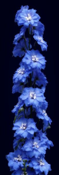 Photo by Cora Niele.  Sky blue larkspur or Delphinium flower on midnight blue, almost black background.