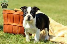 Kibble is a handsome Boston Terrier puppy with a wonderful personality. This perky pup is vet checked and up to date on shots and wormer. Kibble can be registered with the ACA and comes with a health guarantee provided by the breeder. To find out more about this people loving pup, please contact Sam today!