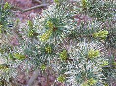 Japanese White Pine ile ilgili görsel sonucu