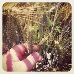 Wheat close-up #intercer #agriculture #rural #wheat #romania