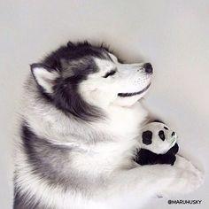 Maru the Husky