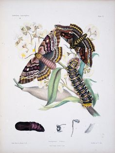 Vol. 1 - Australian lepidoptera and their transformations, drawn from the life / - Biodiversity Heritage Library Butterfly Painting, Butterfly Art, Butterflies, Early Readers, Wow Art, Black And White Illustration, Nature Images, Vintage Prints, Antique Prints