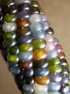 "Glass Gem Corn... hands-down winner of the most amazing heirloom corn variety we've seen yet! Carefully stewarded by Seeds Trust in Arizona...    ""Seedsman Greg Schoen got this seed from Carl Barnes, a part-Cherokee man, now in his 80's, in Oklahoma. He was Greg's ""corn-teacher"""