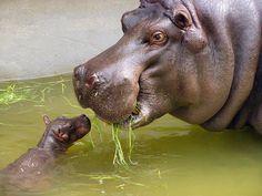 Le quotidien mignon: Journée nationale des hippopotames