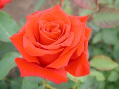 Bushfire - Ludwigs Roses | Reaches 2m in less than a season & flowers during all stages. Fiery orange, medium sized blooms of classical, high peaked HT shape are soon bypassed by several new shoots with more blooms. Lush purple-red, young foliage & orange blooms set this rose aflame into a bushfire! The use of this rose is unlimited. Find a spot for it – if not, plant a whole hedge.