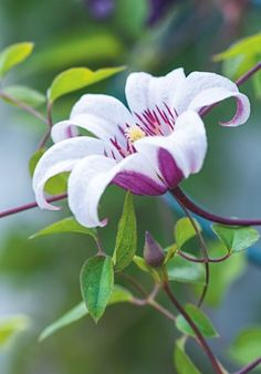 Clematis 'Princess Kate' - as late flowering you just need to cut back to knee level in autumn/early spring =Zoprika), zones Exotic Flowers, Amazing Flowers, My Flower, Beautiful Flowers, Cactus Flower, Tropical Flowers, Purple Flowers, Clematis Vine, Flower Landscape