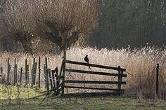 Fazant op hek - Groningen