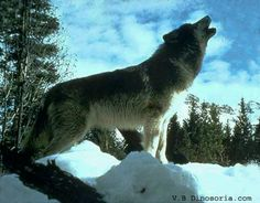 Howling good time. Save the wolfs.