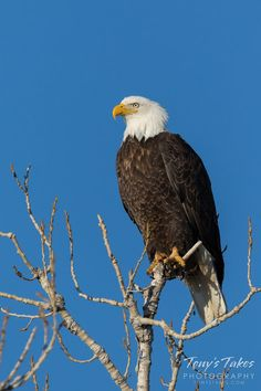 A Bald Eagle strikes a regal pose in Cherry Creek State Park, Colorado. (© Tony's Takes)