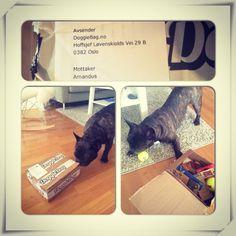 Amandus - DoggieBag.no #DoggieBag #FranskBulldog #Frencie #Bulldog