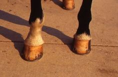 SUMMERTIME HOOF CHANGES  PEELING, FLAKING HOOVES LOOK ALARMING, BUT ARE A NORMAL CONSEQUENCE OF DRY SUMMER WEATHER