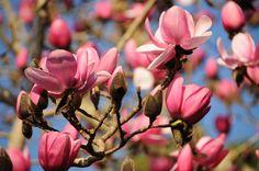 Spring has sprung in Cornwall! Magnolias in full flower at Tregothnan