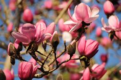 Spring has sprung in Cornwall! Magnolias in full flower at Tregothnan