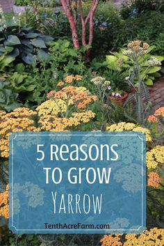 5 Reasons to Grow Yarrow in Your Garden Yarrow is a flowering herb with many uses medicinally and in the permaculture garden. Here are 5 reasons why you will benefit from growing yarrow. Medicinal Plants, Growing Herbs, Yarrow, Garden, Types Of Herbs, Plants, Permaculture Gardening, Gardening Tips, Organic Gardening