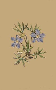 89. Viola Pedata. Cut-Leaved Violet.
