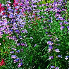 Penstemon gloxinioides: Good perennial choice for late spring-to-summer bloom. (Photo: Photo by Marion Brenner )