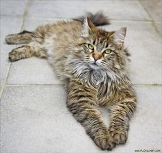 What A Beautiful Maine Coon