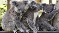 HOW much can these koalas bear to be apart? Not much it seems, with the tiny trio forming a very close bond at the Australian Reptile Park.