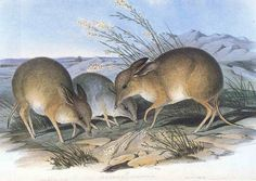 Pig-Footed Bandicoot. Illustration in John Gould's The Mammals of Australia