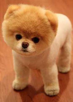 Pomeranian teddy bear clip