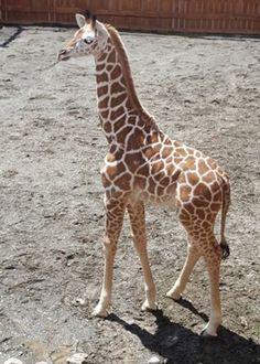 Giraffe Quotes, Giraffe Facts, Zoo Giraffe, Baby Giraffes, Cute Giraffe, Zoo Animals, Animals And Pets, Cute Animals, Giraffe Pictures