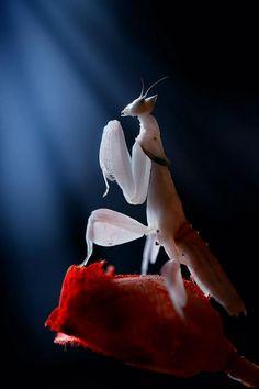 la mantis de novia