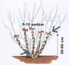 Cięcie krzewów róż pielęgnacja róż związana z cięciem Cięcie krzewów róż, pielęgnacja róż – porady o różach Plants, Sad, Plant, Planets