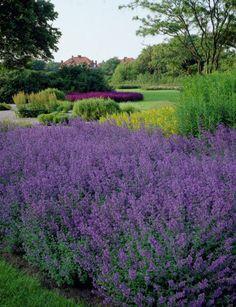 Nepeta faassenii My Secret Garden, Landscape, Plants, Landscaping Ideas, Gardens, Rooms, Composters, Quartos, Scenery