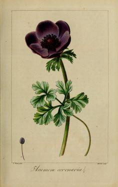 Impressions Botaniques, Gravure Illustration, Illustration Botanique, Vintage Drawing, Antique Paint, Botanical Prints, Vintage Flowers, Botany, Vintage Images