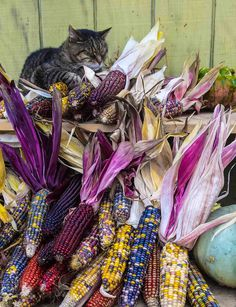 simplymyview:  Cat Nap                                                                                                                    Hey, It's tough work guarding all this corn, I deserve a nap.