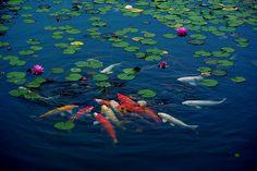 Water Lily and Carp | Camera : PENTAX K10D Lens: smc PENTAX-… | Flickr