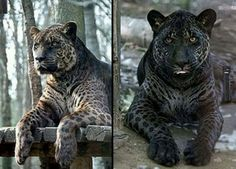 A Jaglion is the offspring of a male jaguar and a female lion, and are very rare. The two pictured above were the result of a close friendship between a jaguar named Diablo and a lioness named Lola