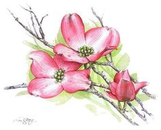 Here are a couple pictures of a white flowering dogwood in our front yard. the American Dogwood is Virginia's official state flower and is one of the su. Pink Dogwood, Dogwood Flowers, Plant Illustration, Botanical Illustration, Watercolor Flowers, Watercolor Paintings, Watercolors, Nature Sketch, Spring Art