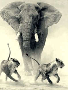 """i-darkness-things: """" Bull elephant chasing off predators """" Elephant Pictures, Elephants Photos, Save The Elephants, Elephant Photography, Wildlife Photography, Animal Photography, Bull Elephant, Elephant Love, Funny Elephant"""