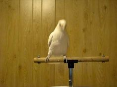 Funky Friday WIth Frostie - Cockatoo Dancing To Rock 'n Roll! - Parrot Shop