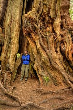 """Washington State, USA.  """"Red Cedar.""""  Photograph by Jeffrey Sullivan, via Flickr.  The photographer captions, """"Most rain forests actually have very poor soil.  Many of the trees that successfully root do so on top of old decaying stumps and logs. (Nurse logs) These """"nurse logs"""" provide the extra nutrients needed for years to come so the young trees can last long enough to establish themselves.  As a result, many of the older trees seem to be 4 to 12 feet out of the ground."""
