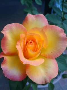 Rose- idea for gumpaste Amazing Flowers, Beautiful Roses, My Flower, Flower Power, Beautiful Flowers, Simply Beautiful, Yellow Roses, Pink Roses, Gardens