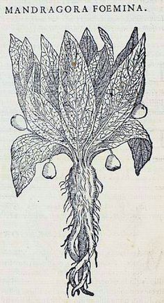 Mandragora, 1570, Pietro Andrea Mattioli, Petri Andreae Matthioli Senensis Medici, P.682, -Detail [Mandragora Foemina]