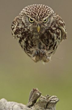 Steely glare: An owl plunges out of the sky at Stow Maries Aerodrome in Essex...