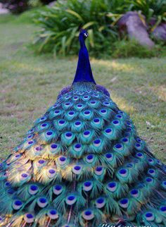 Be a peacock be proud of who you are, stand up for yourself, share your beauty. Strutt your stuff.x